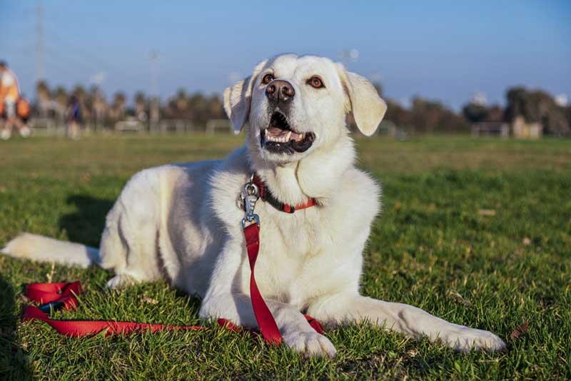Attentive white dog lying on grass