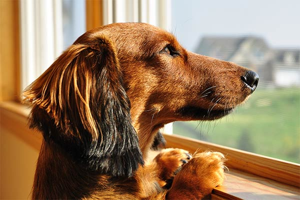 doxie looking wistfully out of the window